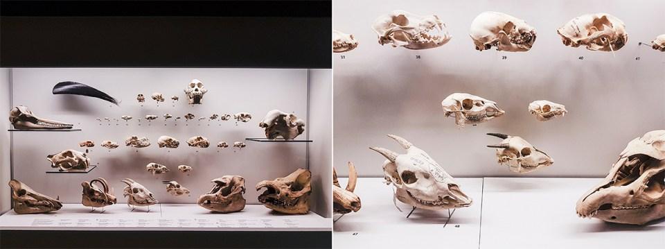 Animal skulls at Lee Kong Chian Natural History Museum.