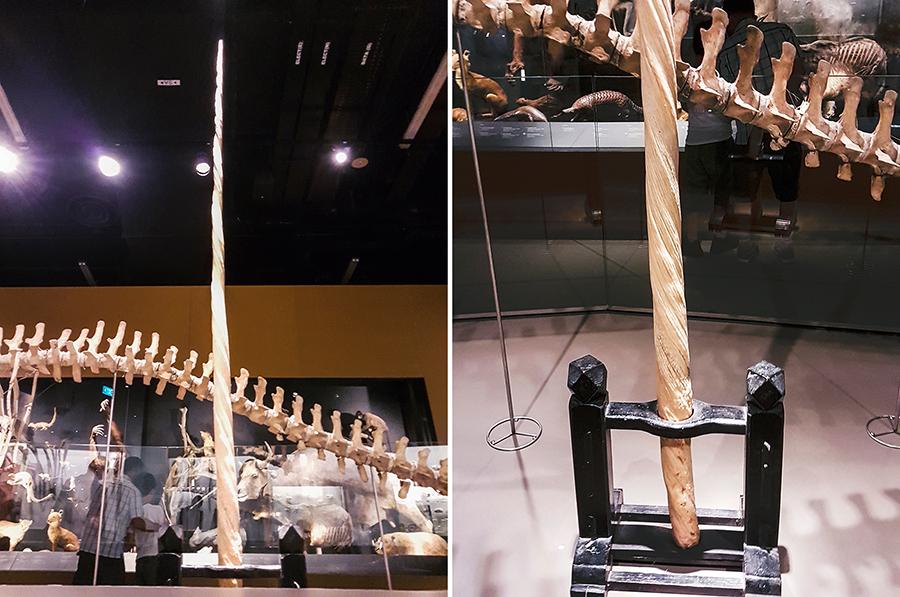 Narwhal horn at Lee Kong Chian Natural History Museum.