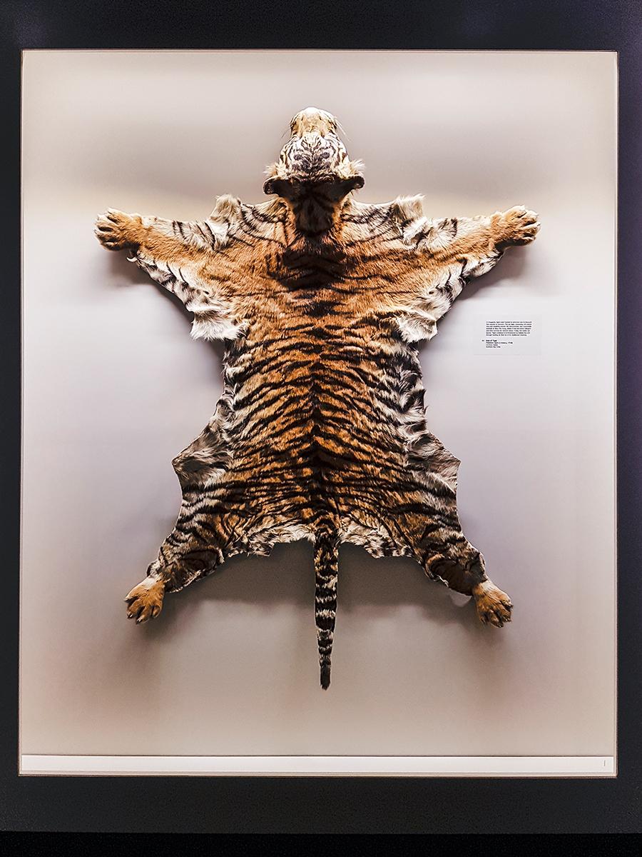 Skinned tiger at Lee Kong Chian Natural History Museum.