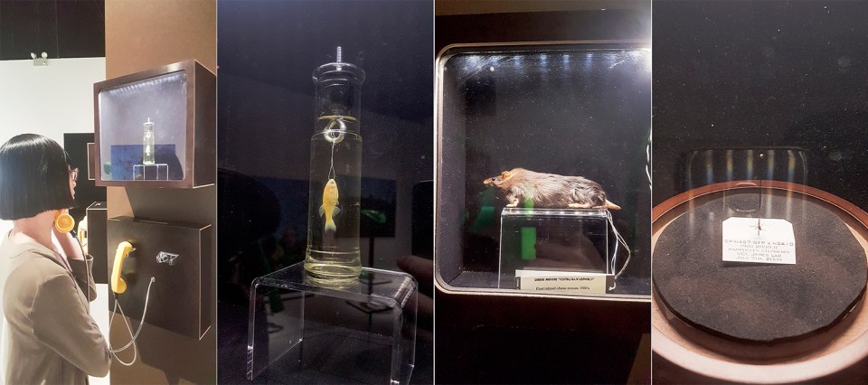 Listening to notable science subjects such as the first inbred obese mouse in the 1950s at the HUMAN+ The Future of Our Species exhibition, ArtScience Museum Singapore.