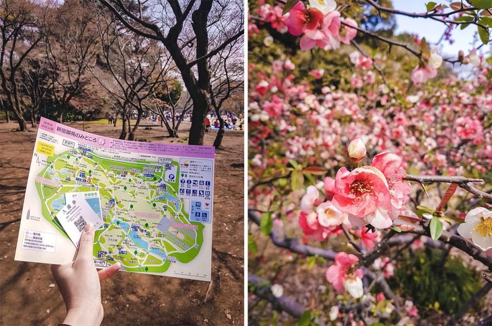 新宿御苑桜 Cherry Blossoms in Shinjuku Gyoen.