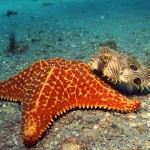 sea star and striped burrfish