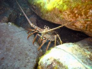 Blue Heron Bridge Lobster in New Rocks