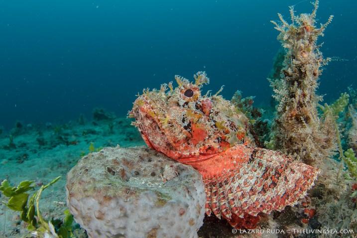 Scorpion fish Palm Beach