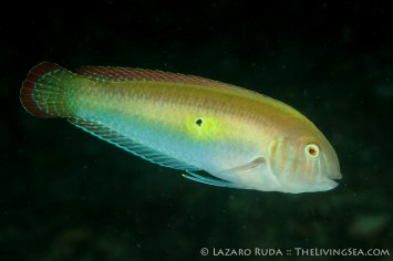 A male wrasse showing off its gorgeous colors to a nearby female.