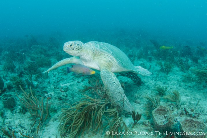 Leucistic male green sea turtle