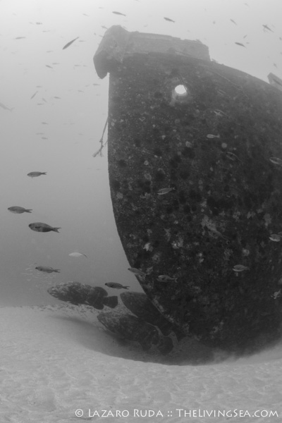Goliath groupers have begun to make the Danny their new home.