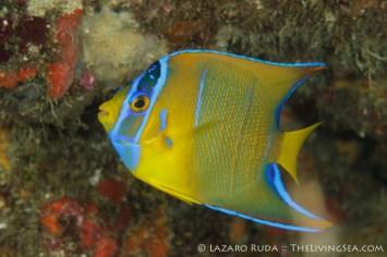 Juvenile blue angelfish: Holacanthus bermudensis