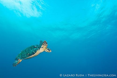 Florida Hawksbill Sea Turtle (Eretmochelys imbricata)