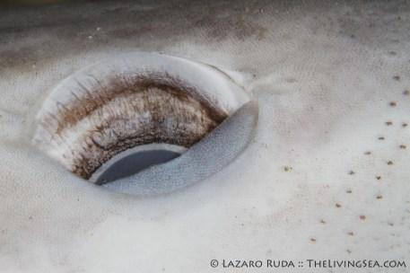 The lifeless eye of a sand bar shark
