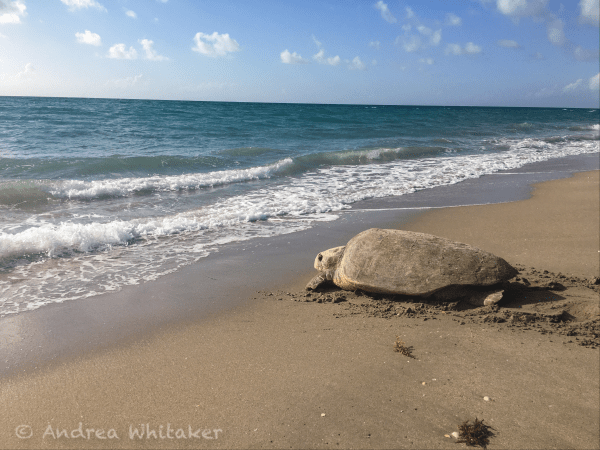 An adult female Loggerhead sea turtle makes her way back into the water after nesting along the beaches of South Florida. This photo was taken during a federally permitted sea turtle nesting survey.
