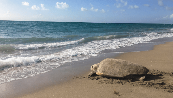 Photo Credit: Andrea Whitaker An adult female Loggerhead sea turtle makes her way back into the water after nesting along the beaches of South Florida. This photo was taken during a federally permitted sea turtle nesting survey.