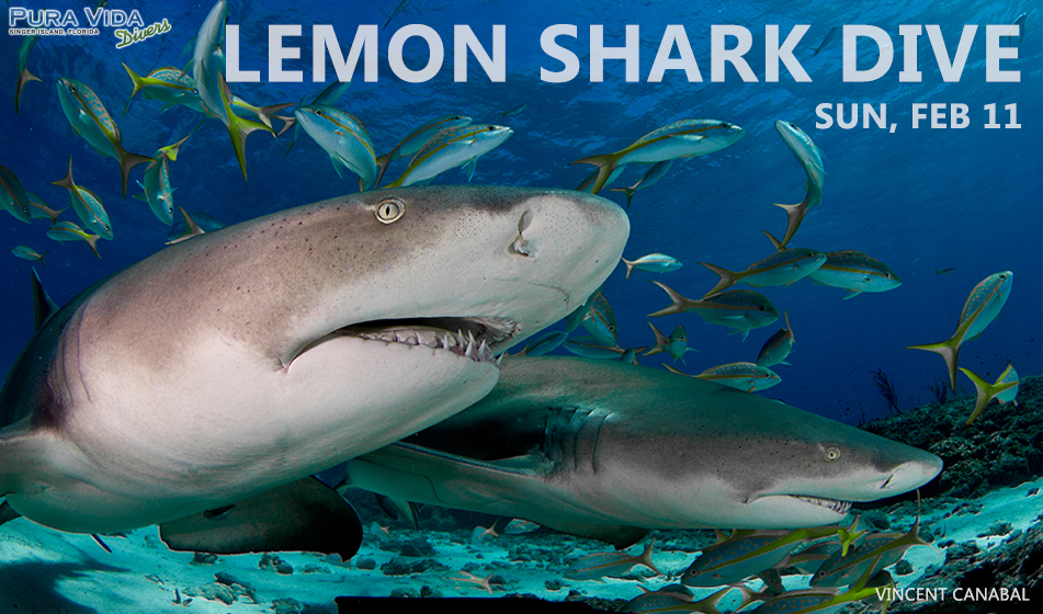 FEB 11: LEMON SHARK DIVES