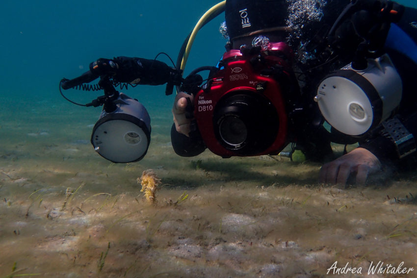 Underwater Photography - Seahorse