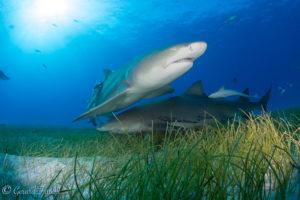 Lemon Shark in Sand