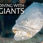GOLIATH GROUPER: DIVING WITH GIANTS