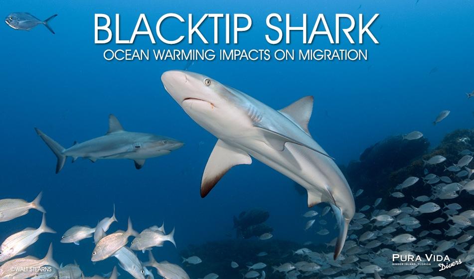 BLACKTIP SHARK MIGRATION