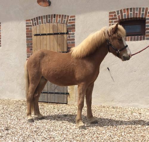 Tónn frá Miðhrauni prend la pose devant les écuries de Pur Cheval