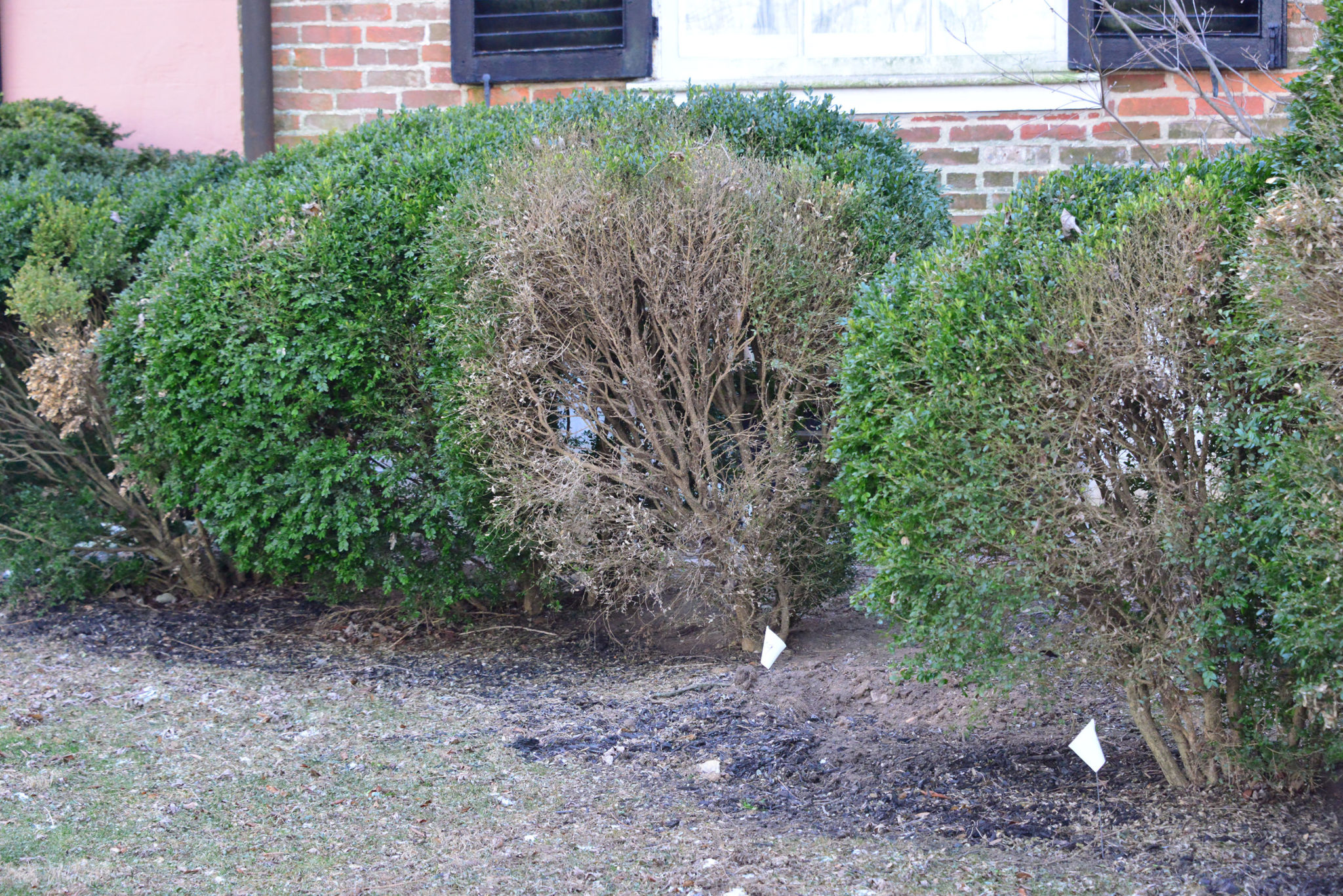 Boxwood Blight Be On The Look Out Purdue Landscape Report