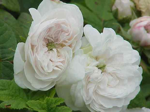 Rosa Damascena : Madame Hardy (Merci Wikipédia)