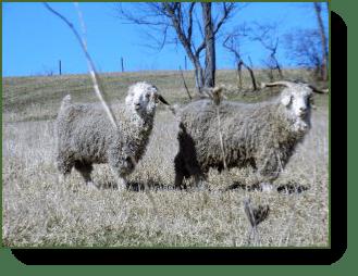 He & She Goats