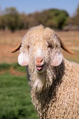 Newsletter Optin Goat