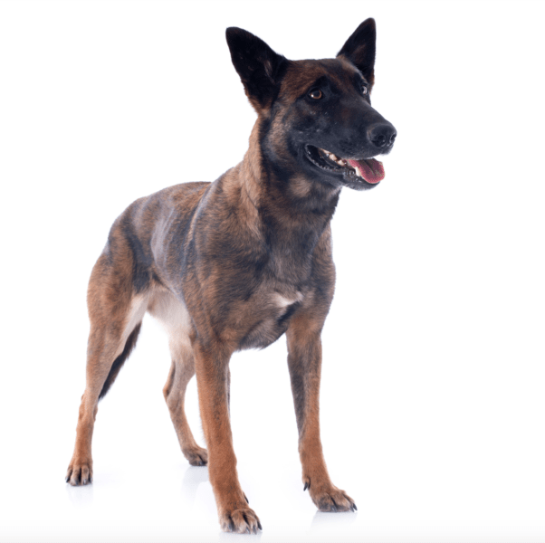 belgian malinois breeders in arizona