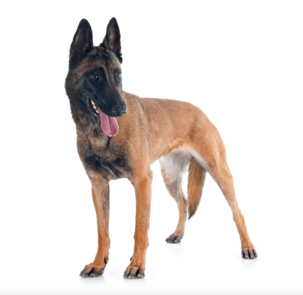 belgian malinois puppies for sale in phoenix arizona