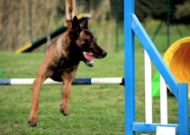 Malinois doing agility.