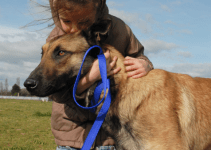 Training a Malinois