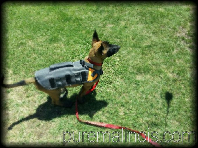 Belgian Malinois Puppy Waiting To Jump On Prey