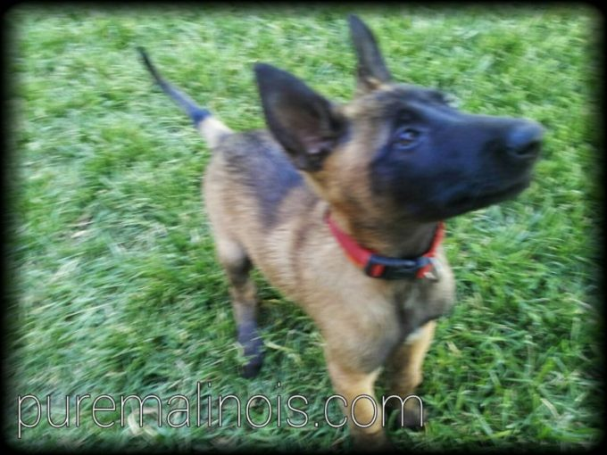 Belgian Malinois Puppy With Erect Ears and Erect Tail