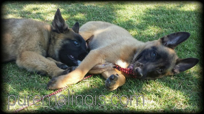 Belgian Malinois Siblings Laying On Their Side