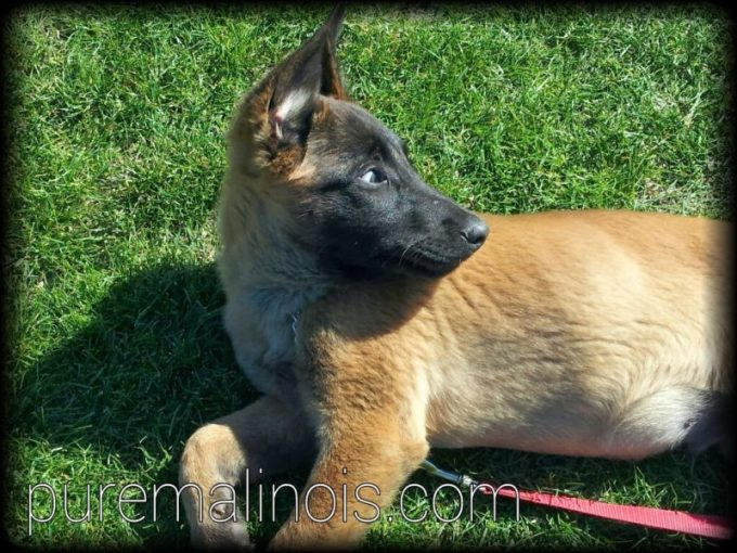 Cute Belgian Malinois Puppy Looking Back