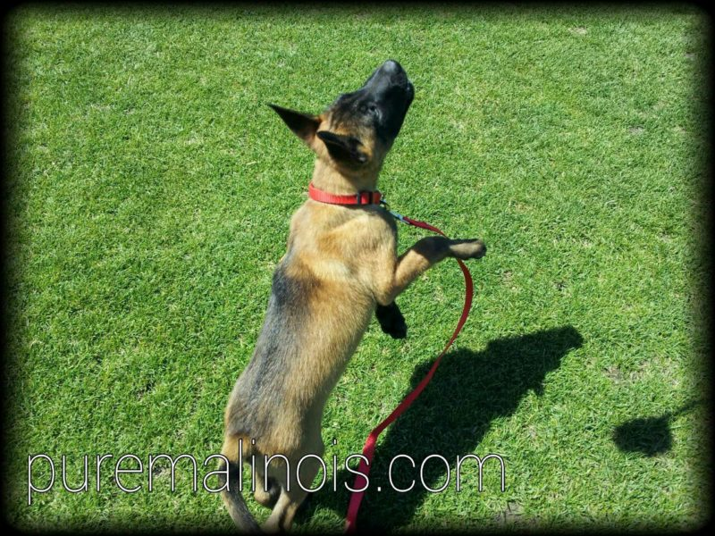 Example Of Belgian Malinois Puppy With Dark Haired Back