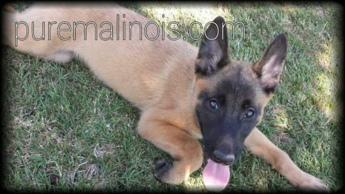 Example Of Classic Fawn Coat On A Belgian Malinois Puppy