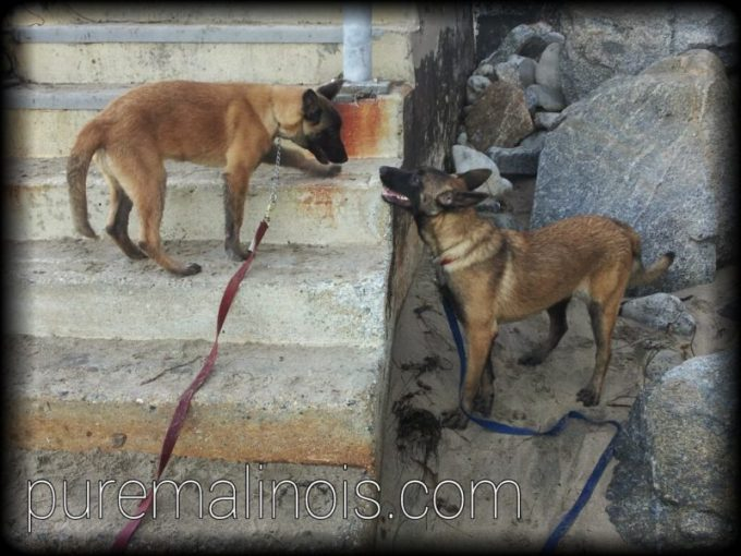 One Belgian Malinois Puppy On Stairs Looking Down To Another Belgian Malinois