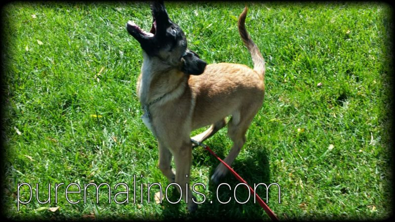 Snappy Belgian Malinois Puppy
