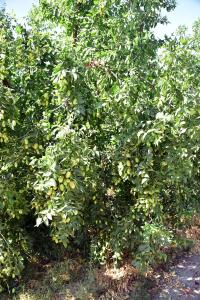 jojoba struik vruchten