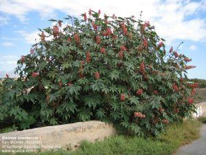 castor plant