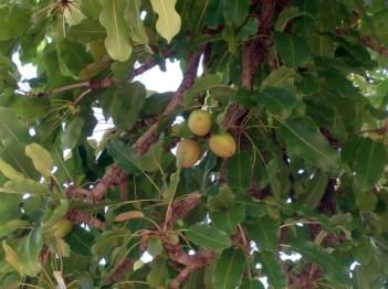 karite boom noten sheabutter