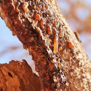 Hars op de Myrrh boom