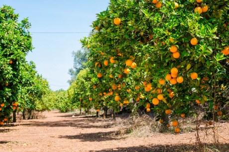 sinaasappel boom