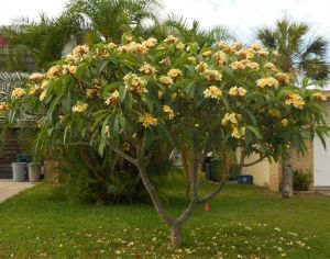 frangipani struik