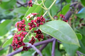sandelwood flowers