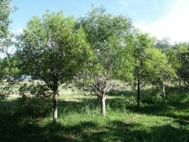 Sandelhout bomen