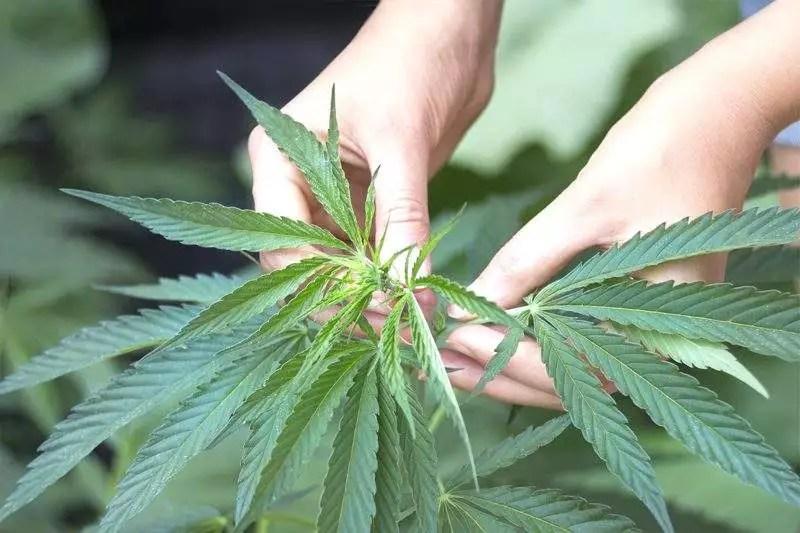 a woman checking the health of a cannabis plants crown