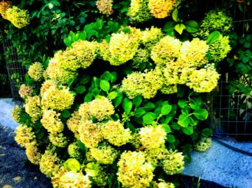 hydrangeas in greece