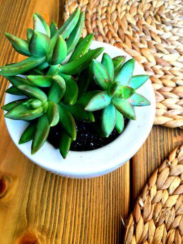 platanias succulent