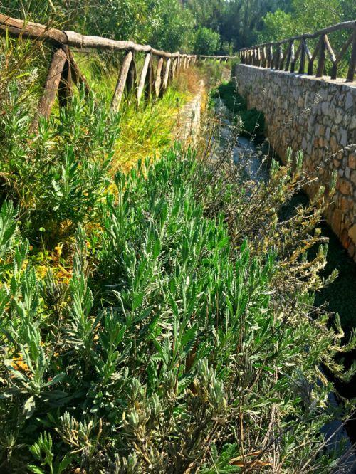 wild lavendar